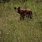 Na avtocesti trije povoženi medvedji mladiči, v okolici najverjetneje še jezna medvedka
