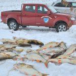 Kormorani na Savinji okoli Celja rešetajo ribji zarod