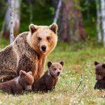 Ne samo treh mladičev, sedaj povozili še medvedko!