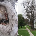 Drevored Mestnega parka Celje bo obogatilo 100 novih rdečecvetnih kostanjev in nova sprehajalna pot