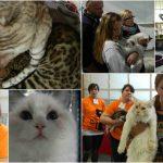 Mednarodna razstava mačk 2017 na Celjskem sejmu (foto, video)