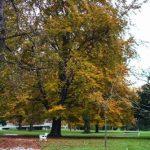 Kostanje v celjskem parku bodo nadomestili lipovci