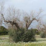 Ozaveščanje o nevarni bakterijski bolezni oljk, okrasnih in drugih lesnatih rastlin