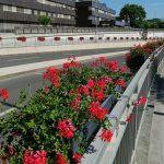 Celje polepšalo na stotine sadik okrasnega cvetja, na katere pa so se že spravili objestneži (foto)