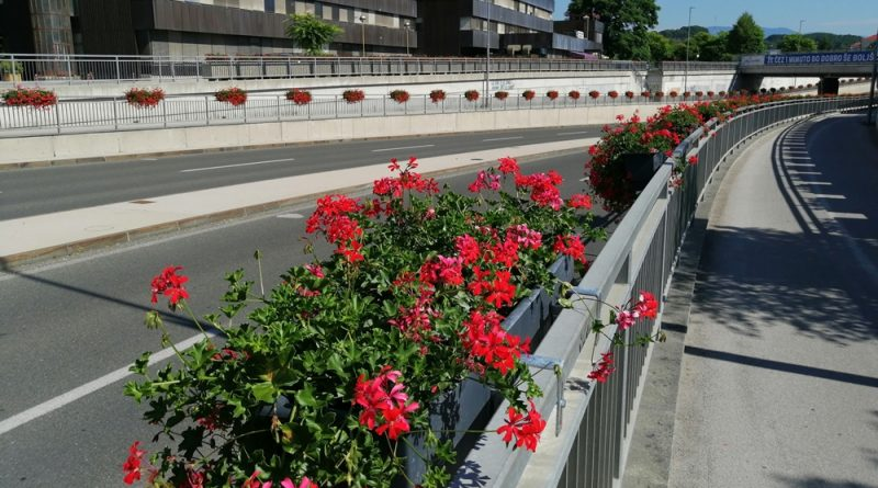 roze-cvetje-celje005