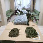 Policisti zasegli večje količine konoplje na Celjskem