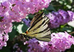 17-metulj-miha-svajger-kozje