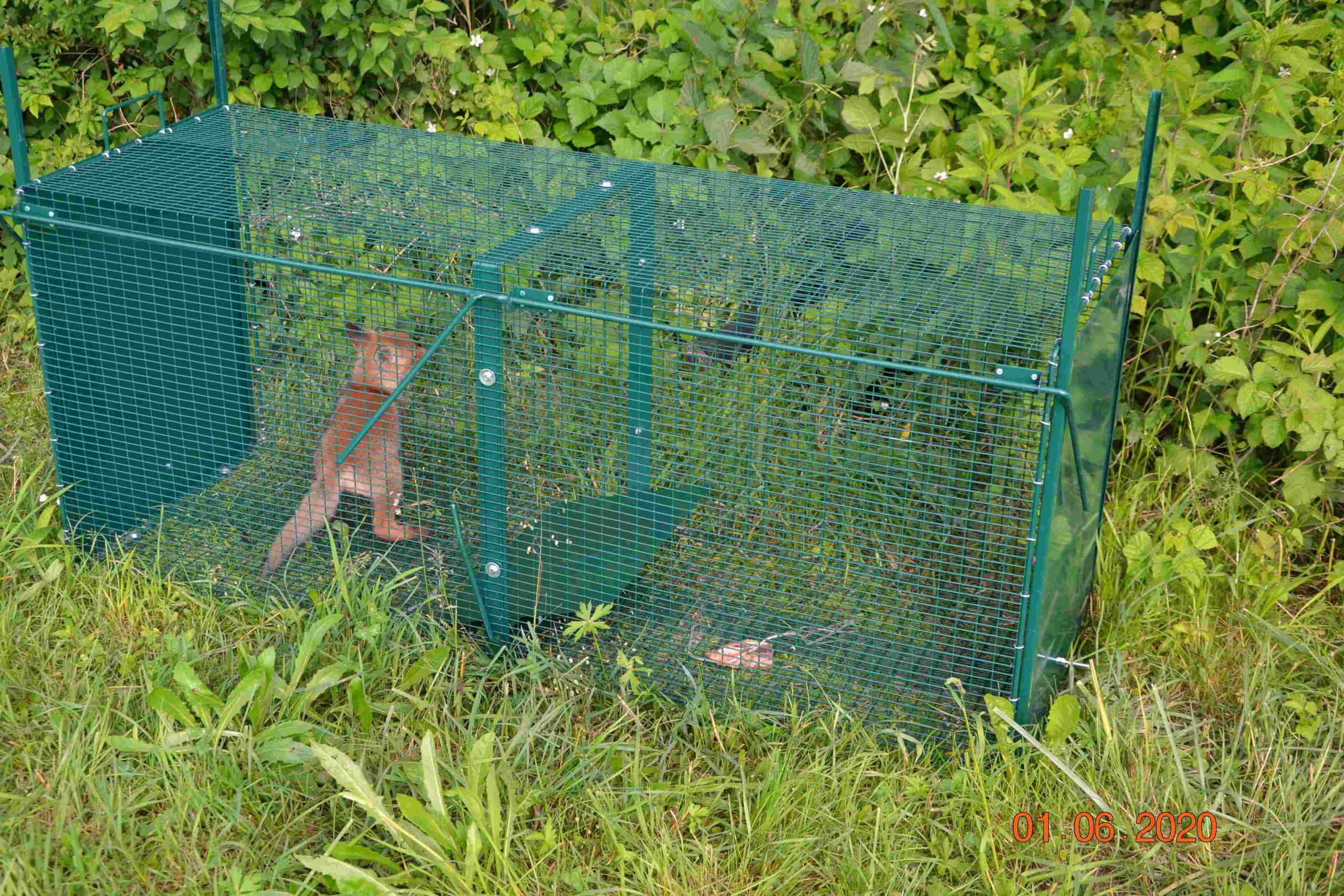 Lisička ujeta v kletki