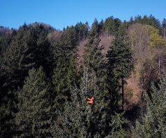 2 foto Andraž Purg – Drevo je z vrh a izmeril plezalec in arborist Rado Nadvešnik
