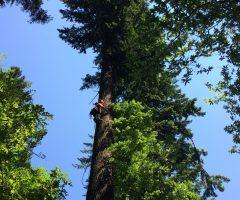6 foto Robert Hostnik – Plezalec Rado Nadvešnik. Meritev z merskim trakom in plezanjem na drevo je najzanesljivejša meritev višin dreves