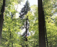 7 foto Boštjan Hren – Plezalec Rado Nadvešnik. Meritev z merskim trakom in plezanjem na drevo je najzanesljivejša meritev višin dreves