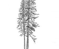 Pečovniška duglazija. Mestni gozd Celje, Pečovnik. Najvišje izmerjeno drevo v Sloveniji (risba Iva Vita Hostnik 2020)