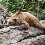 Na Celjskem zadnje dni večkrat opažen medved. Previdno pri sprehodih v naravi