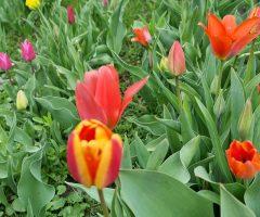 tulipani 25 let (1)