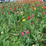 Zacvetelo 100.000 tulipanov posajenih ob 25. obletnici celjskih javnih podjetij (foto)