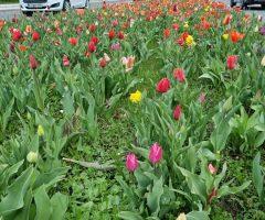 tulipani 25 let (4)