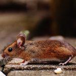 Celjsko ni med žarišči mišje mrzlice, previdnost kljub temu ni odveč